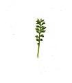 Coronopus didymum leaf (10).jpg