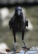 Corvus splendens @ Kuala Lumpur (4s, p10).jpg