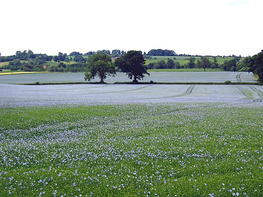 Cotswolds linseed field 1