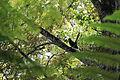 Coua caerulea (21402450114).jpg