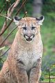 Cougar Standing Looking Forward (17670508750).jpg