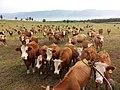 Cows Assembling.jpg