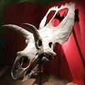 Craneo de coahuilaceratops.jpg