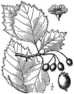 <i>Crataegus brainerdii</i> species of plant
