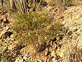 Creosote - Flickr - treegrow (1).jpg