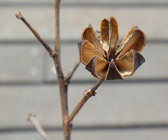 Dehiscence (botany) - Image: Crepe myrtle 1