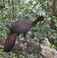 Crested Guan (24510268463) (cropped).jpg
