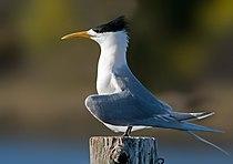 Crested Tern Tasmania (edit).jpg