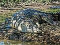 Crocodile at Yellow Water Billabong.jpg