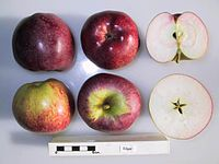 Cross section of Edgar (Canada), National Fruit Collection (acc. 1967-068).jpg