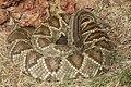 Crotalus durissus zoo Brasilia.jpg