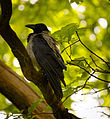 Crow on a tree (17704608890).jpg