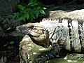 Ctenosaura Similis (3976001195).jpg