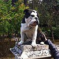 Cucciolo di bulldog di colore scuro 2014-05-05 19-15.jpg