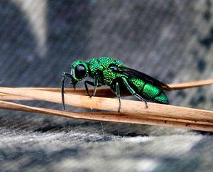 Cuckoo wasp - Cuckoo Wasp on pine needle, North Carolina Piedmont