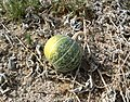 Cucurbita palmata 2.jpg