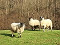 Cumbrian Lamb - geograph.org.uk - 668651.jpg