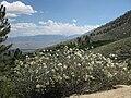 Cupleaf ceanothus C greggii bush mountainside.jpg