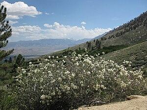 Ceanothus greggii - Image: Cupleaf ceanothus C greggii bush mountainside