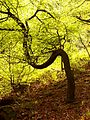 Curved tree in Hebden Wood (2505491489).jpg
