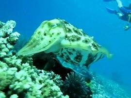 Cuttlefish - Simple English Wikipedia, the free encyclopedia