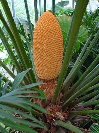 Patterns in nature - Fibonacci patterns occur widely in plant structures including this cone of queen sago, Cycas circinalis