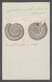 Cyclostoma planorbula - - Print - Iconographia Zoologica - Special Collections University of Amsterdam - UBAINV0274 082 28 0002.tif