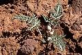 Cymopterus multinervatus - Flickr - aspidoscelis.jpg