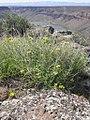 Cymopterus petraeus plant-4-12-05.jpg