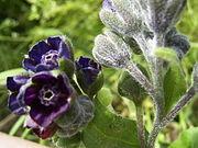 CynoglossumOfficinale-bloem-kl.jpg