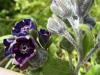 CynoglossumOfficinale-bloem-kl
