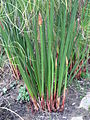 Cyperus papyrus detail 03 by Line1.JPG