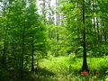 Cypress Swamp 6.jpg