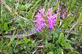 Dactylorhiza majalis cm02.jpg