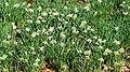 Daffodil Hill 04 - Lake View Cemetery (32340715341).jpg