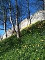 Daffodils, York city walls - geograph.org.uk - 2319424.jpg