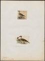 Dafila oxyura - 1700-1880 - Print - Iconographia Zoologica - Special Collections University of Amsterdam - UBA01 IZ17600351.tif