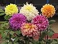 Dahlia - Indian Botanic Garden - Howrah 2012-01-29 1767.JPG