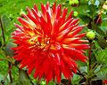 Dahlia flower 11.jpg