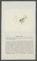 Daphnia serrulata - - Print - Iconographia Zoologica - Special Collections University of Amsterdam - UBAINV0274 099 06 0018.tif