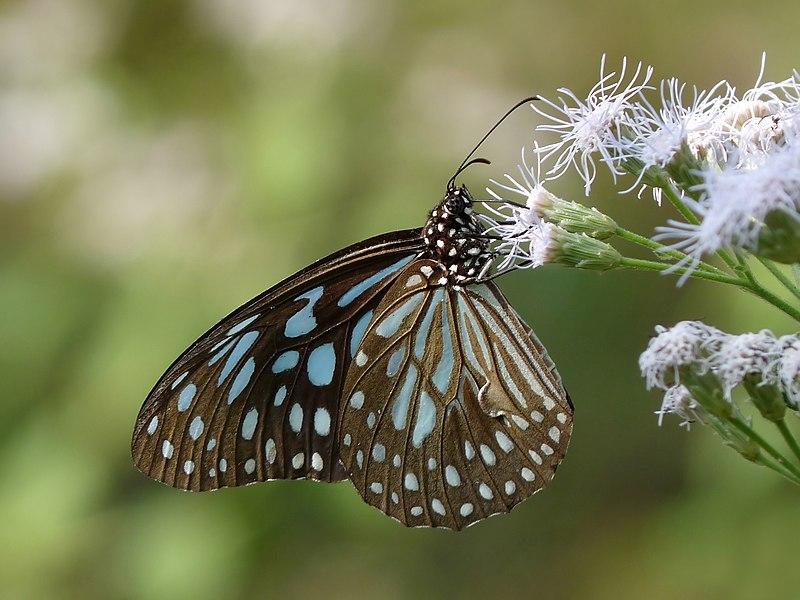 File:Dark Blue Tiger tirumala septentrionis by kadavoor.JPG
