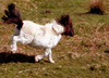 Dartmoor Ponies having fun cropped.png