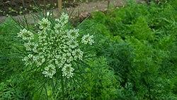 Daucus carota's flower.jpg