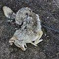 Dead Coyote (26047593235).jpg