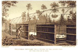 Decoy - Illustration demonstrating the use of a dog in a duck decoy tunnel (1886)