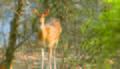 Deer In Rathambore.jpg
