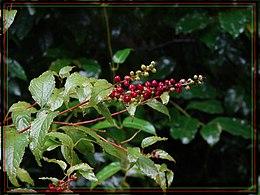 Deeringia amaranthoides
