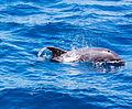 Delfín mular (Tursiops truncatus), isla de San Cristóbal, islas Galápagos, Ecuador, 2015-07-24, DD 86.JPG