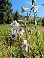 Delphinium occidentale - western larkspur - Flickr - Matt Lavin (2).jpg