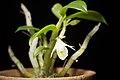 Dendrobium trinervium (Indo-China or Malaysia) Ridl., J. Linn. Soc., Bot. 32- 242 (1896) (37227020696).jpg